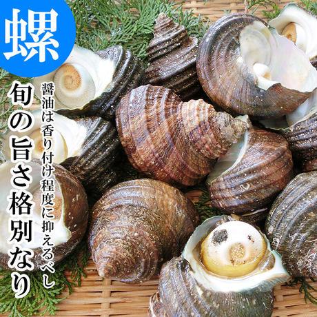 天然活きサザエ 1kg 6〜10個  大分県産 蠑螺 さざえ 栄螺