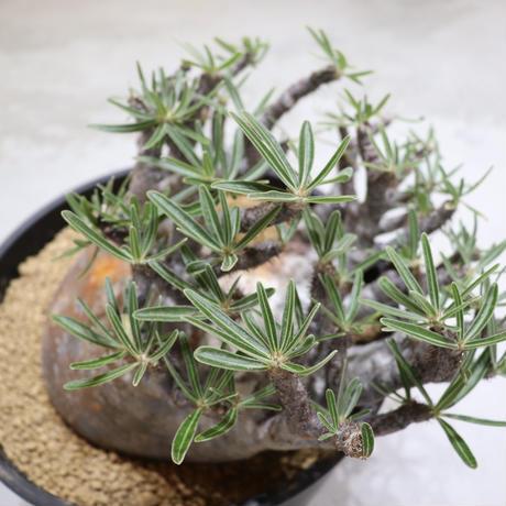 Pachypodium Gracilius (パキポディウム ・グラキリス)001