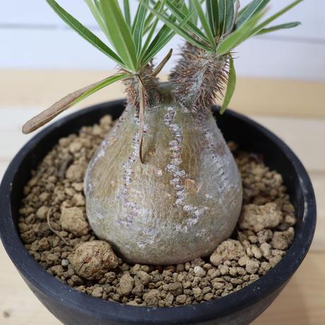 Pachypodium Gracilius (パキポディウム ・グラキリス)004