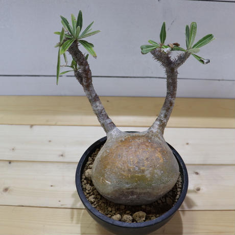 Pachypodium Gracilius (パキポディウム ・グラキリス)003