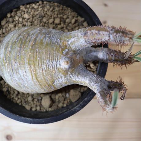 Pachypodium Gracilius (パキポディウム ・グラキリス)006