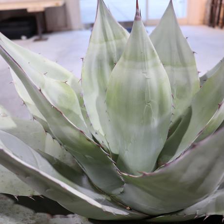 Agave Ovatifolia(アガベ・オバティフォリア)