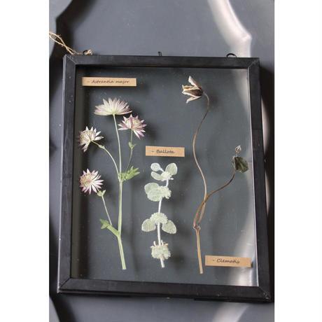 ≪fp-685≫[透ける植物標本/アストランチア・クレマチス・バロータ]25.5x20