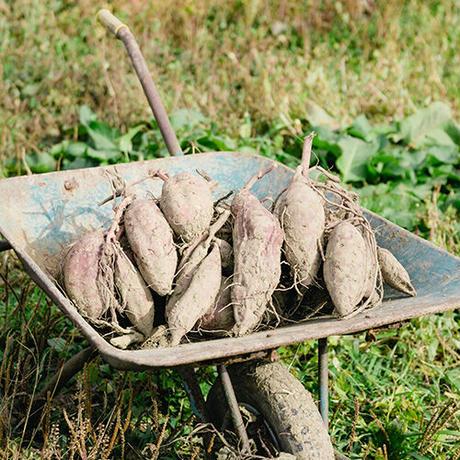 土にこだわって育てたシルクスイート(生芋)「10kg」