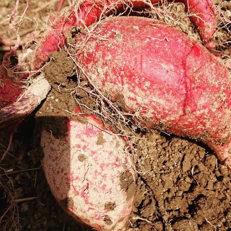 土にこだわって育てたシルクスイート(生芋)「1kg」