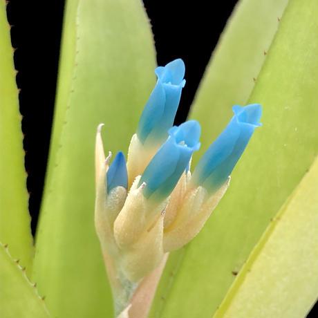 【天下家植物界】Quesnelia seideliana(Rio de Janeiro,Brazil) 002/クェスネリア セイデリアナ