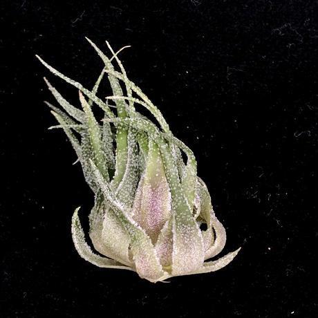 T.sprengeliana/スプレンゲリアーナ