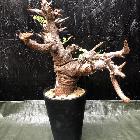 Boswellia neglecta 発根済 ボスウェリアネグレクタ