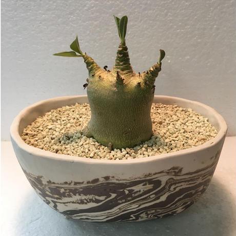 Adenium arabicum モンスト 3