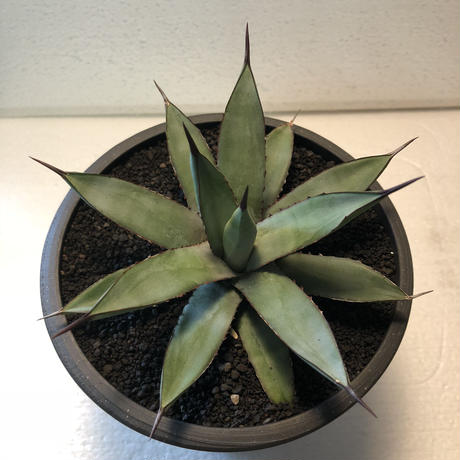 Agave Little Shark 1