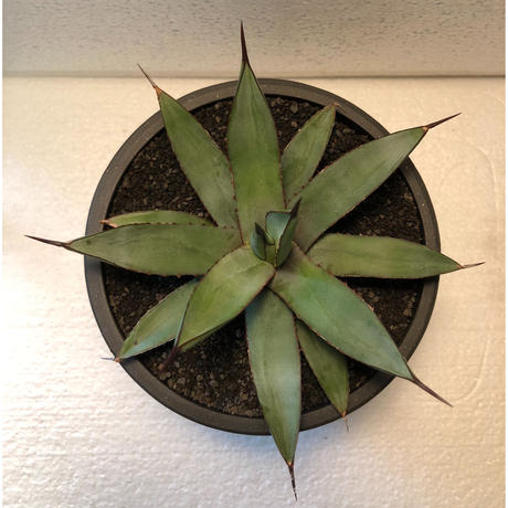 Agave Little Shark 2