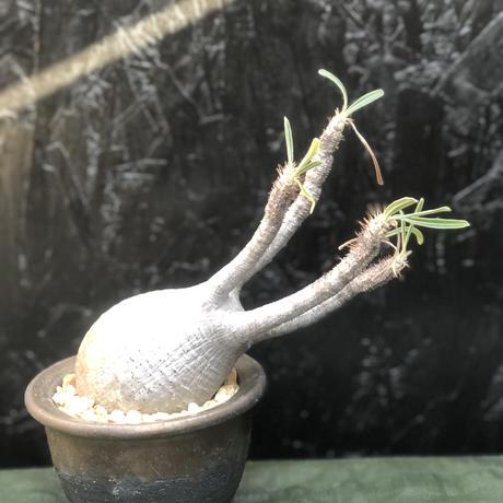 Pachypodium Gracilius パキポディウムグラキリス 発根済