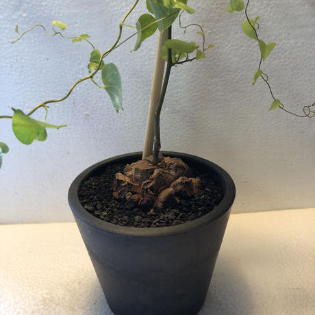 Dioscorea elephantipes 2(特選国内実生)