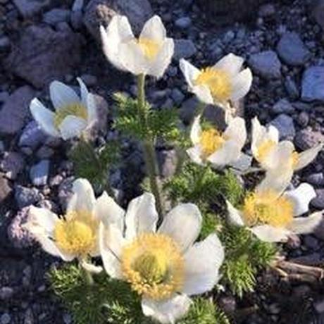 シャスティカ 2021春特製 8つの花のクリーム