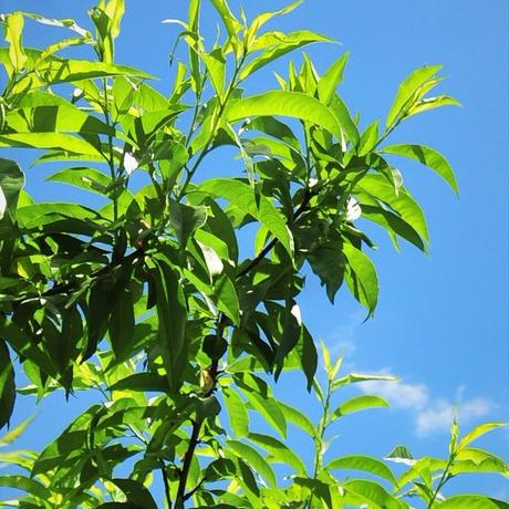 季節限定 桃の葉(フレッシュ)