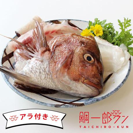 【7~8人前】「鯛一郎クン」フィレ(3枚おろし)皮あり2枚《冷凍》☆アラ付き☆