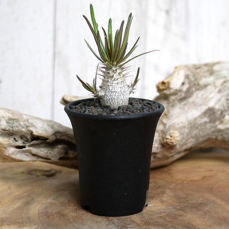 【実生】Pachypodium rosulatum var. gracilius パキポディウム・ロスラーツム・グラキリウス(グラキリス)GR6