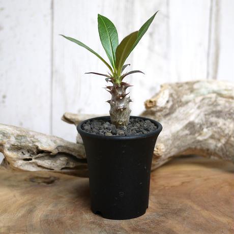 【実生】Pachypodium baronii パキポディウム・バロニー  BAR4