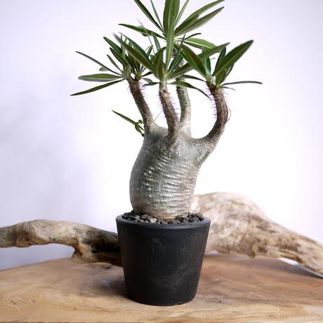 【発根済】Pachypodium rosulatum var. gracilius パキポディウム・ロスラーツム・グラキリウス(グラキリス)F