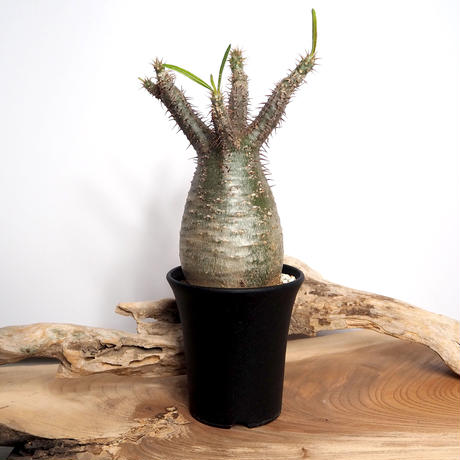 【発根済】Pachypodium rosulatum var. gracilius パキポディウム・ロスラーツム・グラキリウス(グラキリス)