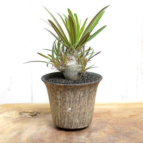 【実生】Pachypodium rosulatum var. gracilius パキポディウム・ロスラーツム・グラキリウス(グラキリス)GR SPECIAL