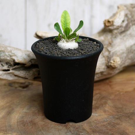 【実生】Pachypodium brevicaule パキポディウム・ブレビカウレ  恵比寿笑い BRE1