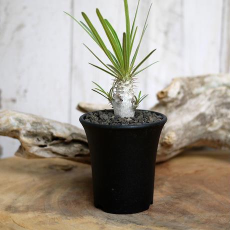 【実生】Pachypodium rosulatum var. gracilius パキポディウム・ロスラーツム・グラキリウス(グラキリス)GR5