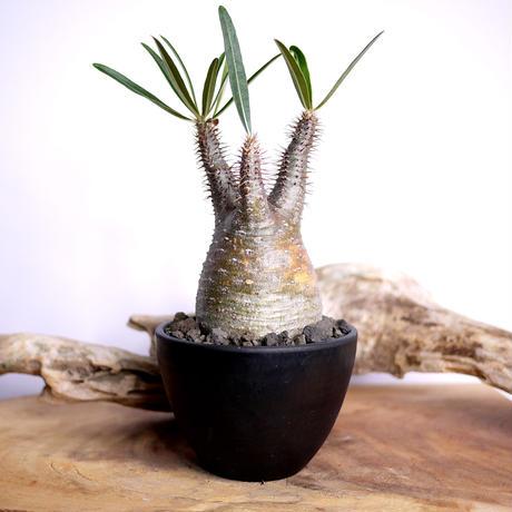 【発根済】Pachypodium rosulatum var. gracilius パキポディウム・ロスラーツム・グラキリウス(グラキリス)A