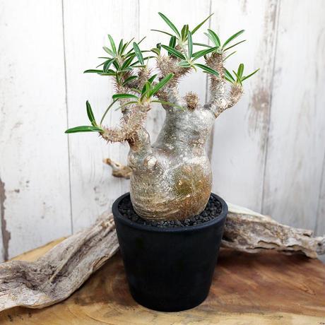 Pachypodium rosulatum var. gracilius パキポディウム・ロスラーツム・グラキリウス(グラキリス)G12