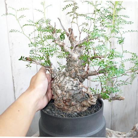 Operculicarya pachypus オペルクリカリア パキプス Ⅰ