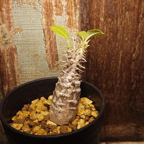 【超希少/国内実生】Pachypodium baronii var. windsorii パキポディウム・バロニー・ウィンゾリー