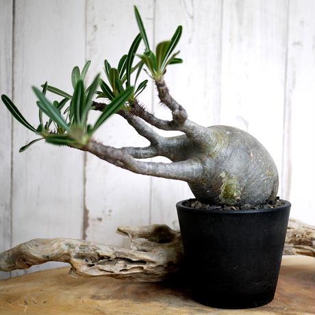 Pachypodium rosulatum var. gracilius パキポディウム・ロスラーツム・グラキリウス(グラキリス)Wind type