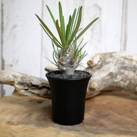【実生】Pachypodium rosulatum var. gracilius パキポディウム・ロスラーツム・グラキリウス(グラキリス)GR1