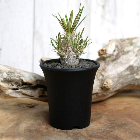 【実生】Pachypodium rosulatum var. gracilius パキポディウム・ロスラーツム・グラキリウス(グラキリス)GR10