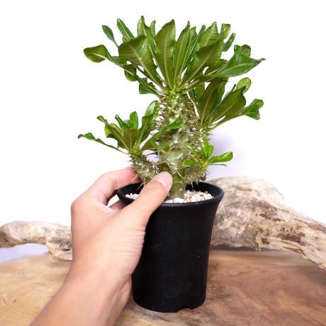 【実生】Pachypodium ambongense パキポディウム・アンボンゲンセ