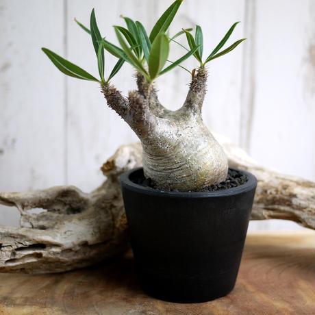 Pachypodium rosulatum var. gracilius パキポディウム・ロスラーツム・グラキリウス(グラキリス)G14