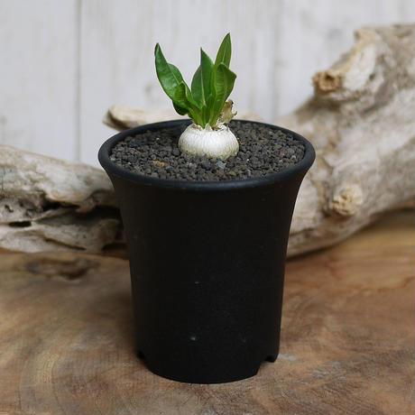 【実生】Pachypodium brevicaule パキポディウム・ブレビカウレ  恵比寿笑い BRE3