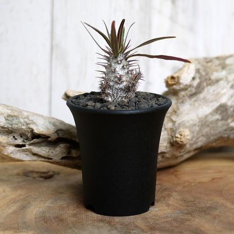 【実生】Pachypodium rosulatum var. gracilius パキポディウム・ロスラーツム・グラキリウス(グラキリス)GR13