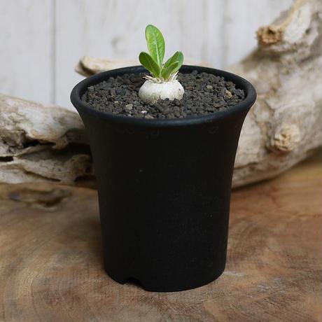 【実生】Pachypodium brevicaule パキポディウム・ブレビカウレ  恵比寿笑い BRE5