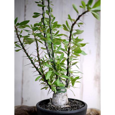 Fouquieria fasciculata×purpusii フォークイエリア・ファシクラータ × プルプシーL1