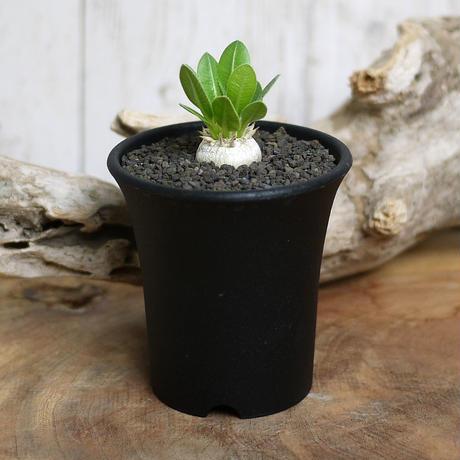 【実生】Pachypodium brevicaule パキポディウム・ブレビカウレ  恵比寿笑い BRE2