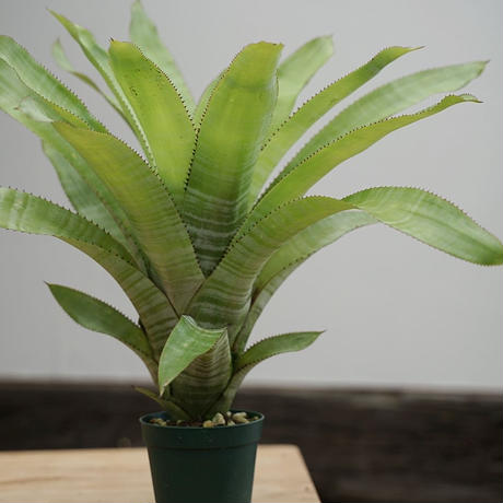 Aechmea phanerophlebia (Green form.Brazil)
