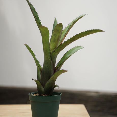 Aechmea nudicaulis ×triangularis