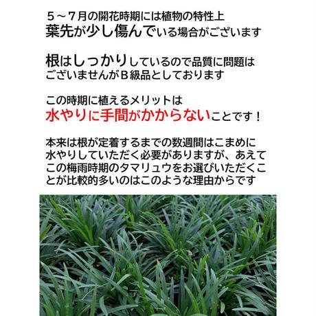 タマリュウ40個【ポット】B級品 石井の玉竜【7月31日まで全国送料無料キャンペーン】