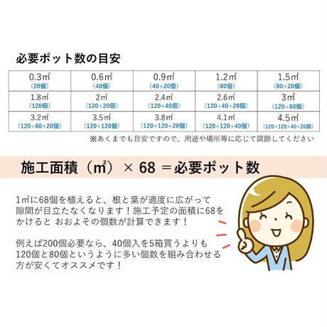タマリュウ80個【ポット】B級品【7月31日まで全国送料無料キャンペーン】