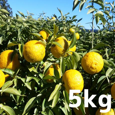 川根本柚子の完熟柚子(無農薬・無肥料) 5kg