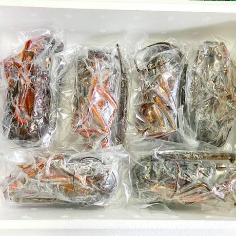 伊勢で獲れた最高級伊勢海老約1kg(お刺身用)6〜8尾 #鳥羽海鮮市場 海の駅黒潮
