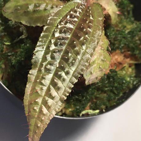 Triolena pustulata from Ecuador
