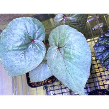 Begonia sp. from Gunung Chamah