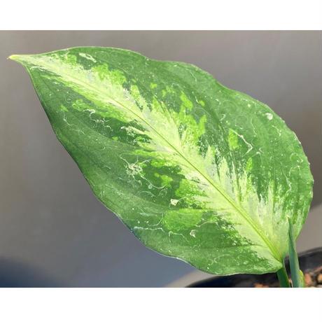 Aglaonema pictum tricolor [TK-ZP0815-38]